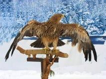 Adler, der auf einem Support über Waldhintergrund stationiert Lizenzfreie Stockfotografie