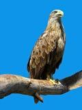 Adler, der auf einem Zweig sitzt Stockfoto