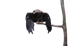 Adler, der auf einem Zweig sitzt Lizenzfreie Stockfotografie