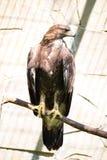 Adler, der auf einem Zweig sitzt vogel Lizenzfreie Stockfotos