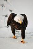 Adler, der auf Schnee geht. Lizenzfreies Stockbild