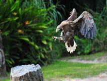 Adler, der eine Landung durchführt Lizenzfreie Stockbilder