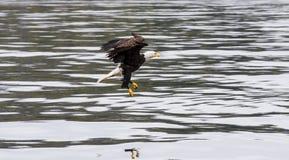 Adler, der für Nahrung Swooping ist Lizenzfreie Stockfotografie