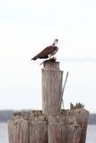 Adler, der Fische isst Stockfoto