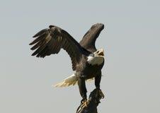 Adler in der Hand Stockfotos