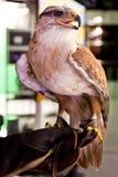 Adler, der an Hand steht Stockbilder