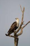 Adler der jungen Fische Lizenzfreies Stockbild