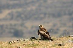 Adler, der mit seinem Opfer auf dem Gebiet geht Lizenzfreie Stockbilder