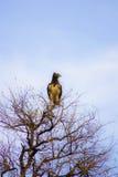 Adler in der Oberseite des Baums Stockfotografie