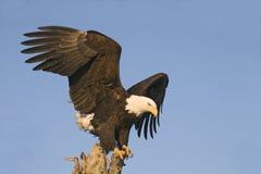 Adler, der unten von der Stange schaut Stockbild