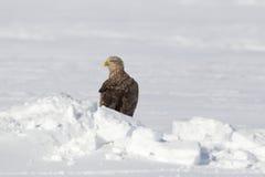 Adler in der Winterzeit Lizenzfreies Stockfoto