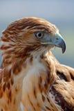Adler des roten Hecks (Buteo jamaicensis) Lizenzfreie Stockfotos