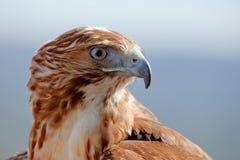 Adler des roten Hecks (Buteo jamaicensis) Lizenzfreies Stockbild