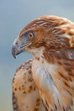 Adler des roten Hecks (Buteo jamaicensis) Stockfoto