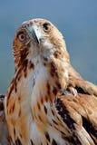 Adler des roten Hecks (Buteo jamaicensis) Lizenzfreie Stockbilder