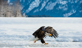 Adler des WEISSKOPFSEEADLERS (Haliaeetus leucocephalus) ungefähr zum Land Chilkat Fluss Stockfotos
