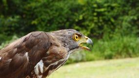 Adler, die auf ihr Opfer warten Lizenzfreie Stockbilder