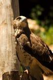 Adler in einem Zoo Stockbilder