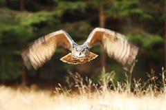 Adler-Eule Lizenzfreies Stockbild