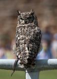 Adler-Eule auf einer Stange Stockfotografie