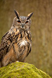 Adler-Eule auf Moos deckte Felsen ab Stockfoto