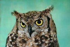 Adler-Eulen-Portrait Lizenzfreies Stockfoto