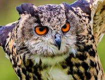 Adler-Eulenabschluß oben Stockfoto