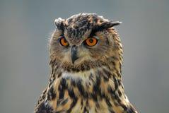 Adler-Eulenportrait Lizenzfreie Stockbilder