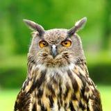 Adler-Eulenvogel Lizenzfreies Stockfoto