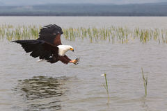 adler Fischjäger Eagle vom See Baringo kenia Lizenzfreie Stockbilder