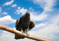 Adler gegen das skyn Stockfoto