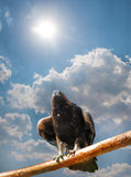 Adler gegen das skyn Stockbild
