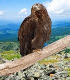 Adler gegen Wildneßhintergrund Lizenzfreie Stockfotografie