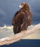 Adler gegen Wildneßhintergrund Lizenzfreies Stockfoto