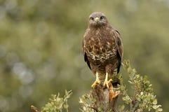 Adler gehockt Lizenzfreies Stockbild