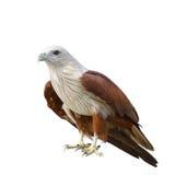 Adler getrennt auf Weiß Lizenzfreie Stockfotos