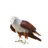 Adler getrennt auf Weiß Lizenzfreie Stockfotografie