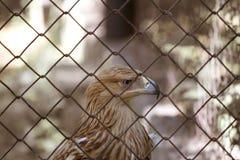Adler hinter Stäben Stockfotografie