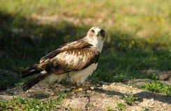 Adler hockte auf Grasstraße auf dem Gebiet Lizenzfreies Stockbild