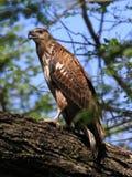 Adler im Baum Stockfotografie