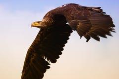 Adler im Flug Stockbild