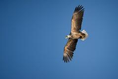 Adler im Flug Lizenzfreie Stockfotografie