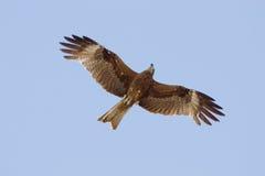 Adler im Himmel Lizenzfreie Stockbilder