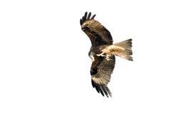 Adler im Himmel Stockbild