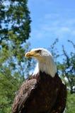 Adler im Wald Stockfotografie