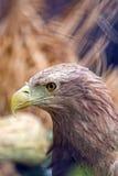 Adler im wilden Stockbild