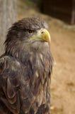 Adler im ZOO Stockfotos