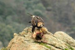 Adler isst einen Fuchs Stockbilder