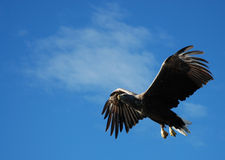 Adler-Jagd Stockfoto