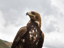 Golden eagle, looking into the distanc stock photography